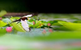Pheasant-tailed Jacana royalty free stock photo