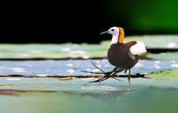Pheasant-tailed Jacana stock photo