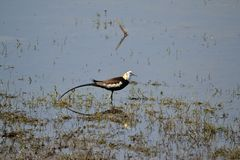 Bird (Jacana) in blue water Stock Photography