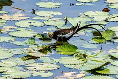 Pheasant-tailed Jacana`s big mouth. These birds have successfully recovered from the Jakarta Education Nature Park in Tainan. They not only eat soft insects, but royalty free stock photography