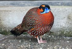 Pheasant Tragopan Satyr. Tragopan Satyr lives in the Central and Eastern parts of the Himalayas, in India, Tibet, Bhutan and Nepal. Black head, red body with Royalty Free Stock Photos