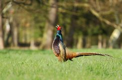 Pheasant uttering Royalty Free Stock Images