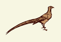 Pheasant. Vector drawing Royalty Free Stock Photography