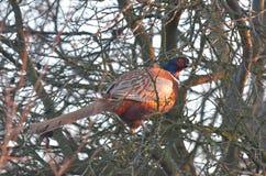 Pheasant Stock Photo