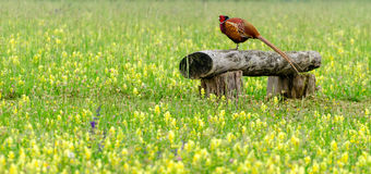 Pheasant (walking bird) Royalty Free Stock Photography