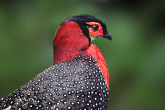 Pheasant Western Tragopan Stock Photo