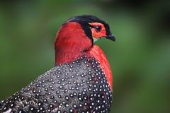 Pheasant Western Tragopan. The rare Western Tragopan found only in India Stock Photo