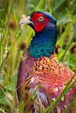 Pheasant. Wild common pheasant with bright plumage Stock Images