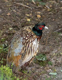 Pheasant. In the wild northern Finland royalty free stock photos