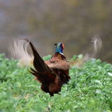 Pheasant wild-shot in its environment Stock Image