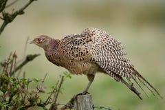 pheasantbarn Royaltyfri Foto