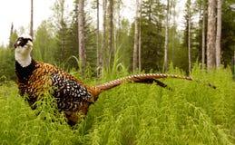 pheasanten trär igenom Royaltyfri Bild