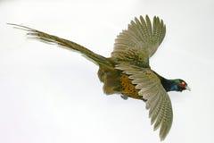 Pheasantflyg i skyen fotografering för bildbyråer