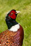 Pheasants head Royalty Free Stock Photos