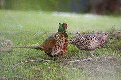 Pheasants stock photo