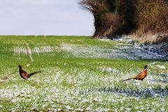 Pheasants At Snowy Dawn. Two pheasants back to back similar to duelling on a recently ploughed field with green grass sprouting and snow on the ground Stock Photography