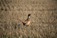 pheasantstubble Arkivfoton