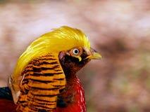 Pheasent dourado Imagens de Stock Royalty Free