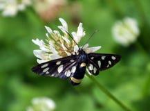 Phegea Amata бабочки стоковые фото