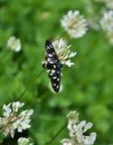 Phegea Amata бабочки стоковые изображения rf