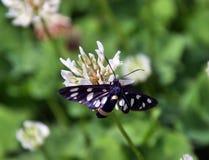 Phegea Amata бабочки стоковые изображения