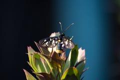Phegea Amata на листьях стоковое изображение