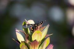 Phegea Amata на листьях стоковые фотографии rf