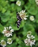 Phegea de Amata de la mariposa imagen de archivo