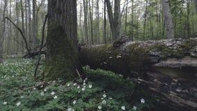 Phellinus igniarius on the tree. Moving camera stock video