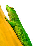 Phelsuma on bamboo Stock Images