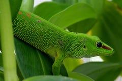 phelsuma för madagascariensis för grandis för daggecko jätte- Arkivfoto