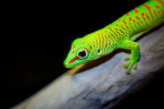 Phelsuma madagascariensi grandis. Green Gecko from Madagascar - Phelsuma madagascariensi grandis Royalty Free Stock Photos