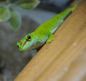 Phelsuma madagascariensis Royalty Free Stock Image