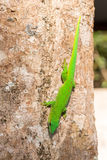 Phelsuma madagascariensis day gecko, Madagascar. Phelsuma Day Geckos Phelsuma madagascariensisin its natural habitat on tree. Farankaraina Tropical Park Royalty Free Stock Images