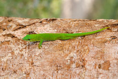Phelsuma madagascariensis day gecko, Madagascar. Phelsuma Day Geckos Phelsuma madagascariensisin its natural habitat on tree. Farankaraina Tropical Park Stock Image