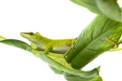 Phelsuma madagascariensis - gecko Stock Image