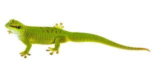 Phelsuma madagascariensis - gecko. Isolated on white Stock Images