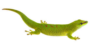 Phelsuma madagascariensis - gecko Stock Photo