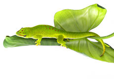 Phelsuma madagascariensis - gecko. Isolated on white Stock Image