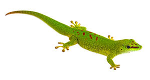 Phelsuma madagascariensis - gecko Royalty Free Stock Photography