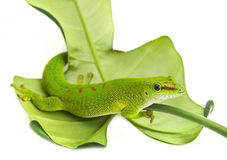 Phelsuma madagascariensis. Gecko isolated on white Stock Image