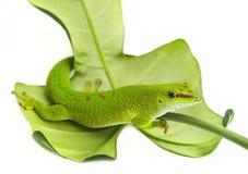 Phelsuma madagascariensis Stock Image