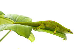 Phelsuma madagascariensis Royalty Free Stock Photography