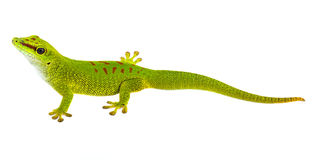 Phelsuma madagascariensis - gecko Royalty Free Stock Images