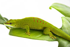 Phelsuma madagascariensis Royalty Free Stock Images