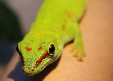 Phelsuma madagascariensis. Gecko Phelsuma madagascariensis from Madagascar with diurnal activity Royalty Free Stock Photos