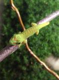 Phelsuma Madagascariensis. Gecko madagascar reptil Royalty Free Stock Images