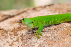Phelsuma madagascariensis is a species of day gecko Madagascar. Phelsuma Day Geckos Phelsuma madagascariensisin its natural habitat. Farankaraina Tropical Park Stock Photos