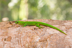 Phelsuma madagascariensis is a species of day gecko Madagascar. Phelsuma Day Geckos Phelsuma madagascariensisin its natural habitat. Farankaraina Tropical Park Stock Image