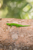 Phelsuma madagascariensis is a species of day gecko Madagascar. Phelsuma Day Geckos Phelsuma madagascariensisin its natural habitat. Farankaraina Tropical Park Stock Images